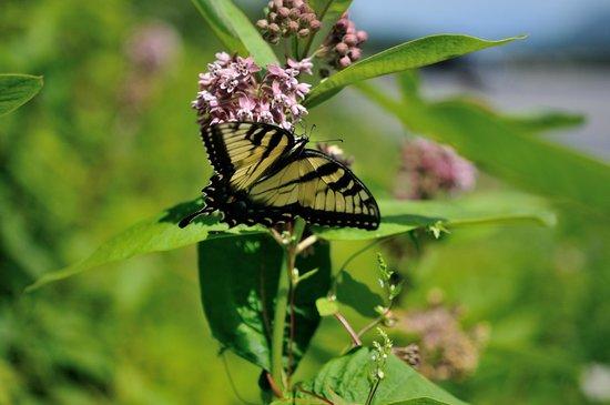 Skyline Drive : Butterfly