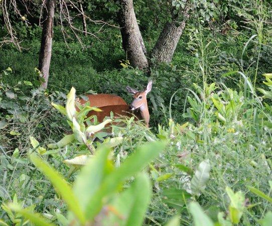 Skyline Drive: Wild deer