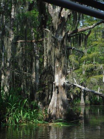 Cajun Encounters : Cypress tree