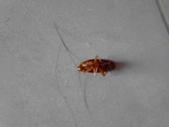 Las Cuevas Beach Lodge: cockroach
