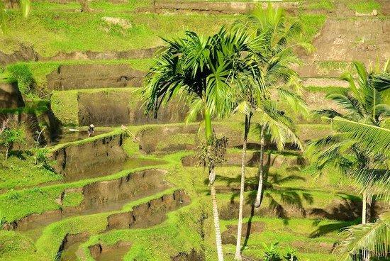 Tegalalang Rice Terrace: Du vert des rizières... C'est beau ?