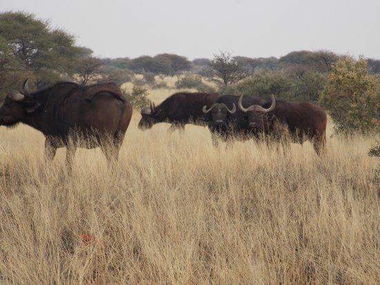 Mokala National Park: Buffalo near Lilly dale