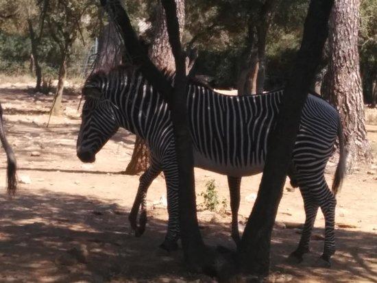 Parc Zoologique Henri de Lunaret : Les zèbres