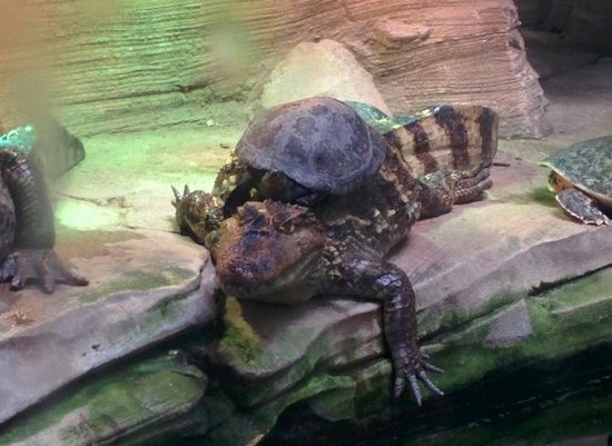 Parc Zoologique Henri de Lunaret : Caiman et tortue