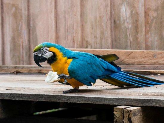 Tariri Amazon Lodge: Arara Canidé