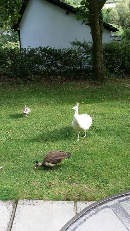 Woodford Bridge Country Club: Peahen and chicks