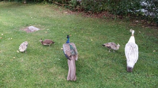 Woodford Bridge Country Club: Peacock family outside the room