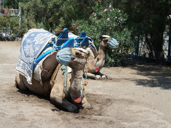 Camel Beach: cammelli 2