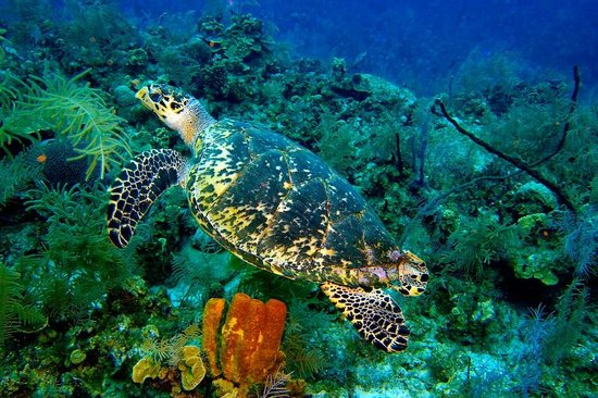 Off the Wall Divers: turtle