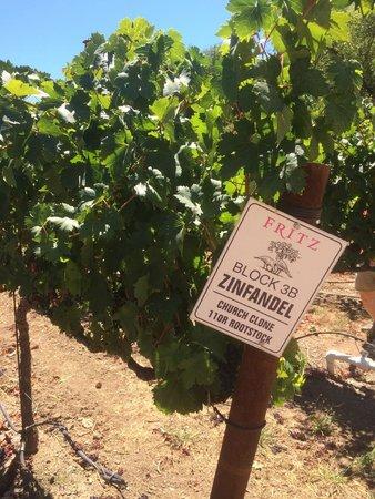 Fritz Underground Winery: Zinfandel Grape Vines