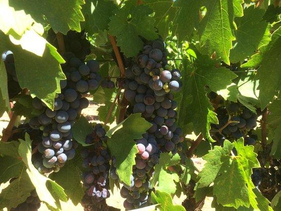 Fritz Underground Winery: Zinfandel Grapes