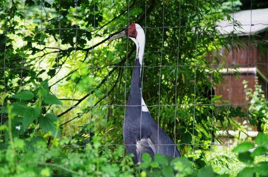 Birmingham Wildlife Conservation Park: White Naped Crane