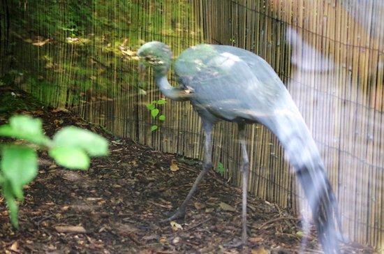 Birmingham Wildlife Conservation Park: Blue Crane