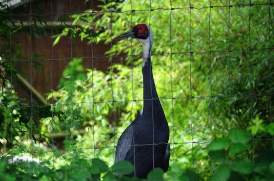 Birmingham Wildlife Conservation Park: White Naped Crand