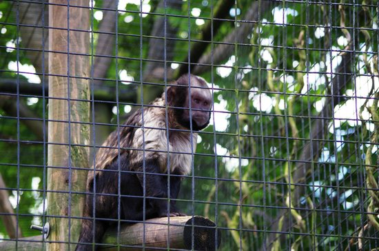 Birmingham Wildlife Conservation Park: Yellow Breasted Capuchin