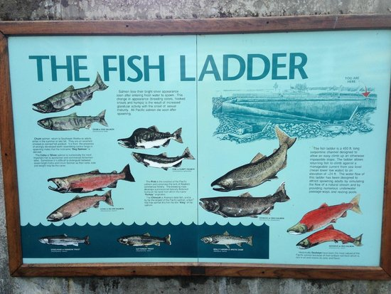 DIPAC's Macaulay Salmon Hatchery: explanation of the fish ladder