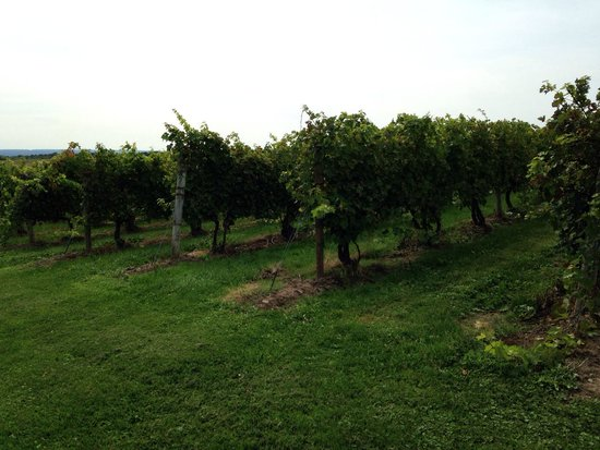 Swedish Hill Winery: Grapes growing