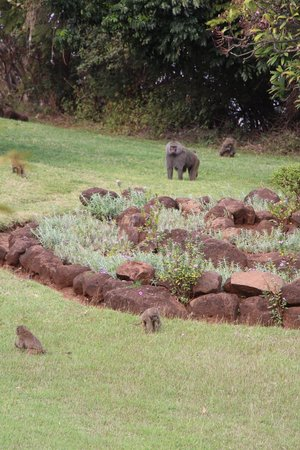 Lake Manyara Wildlife Lodge: Baboons in the garden