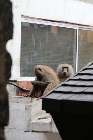 Lake Manyara Wildlife Lodge: Baboons