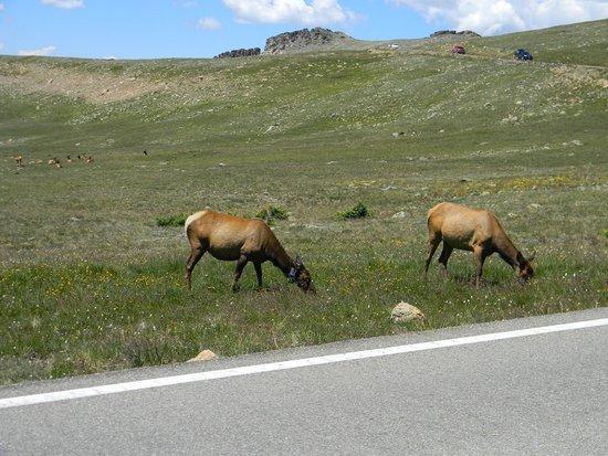 Denver Mountain Parks: The local ELK