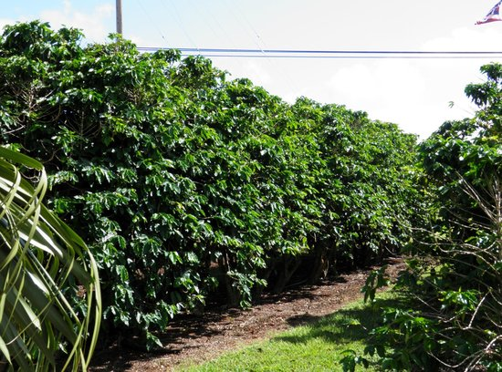 Kauai Coffee Company: rows of coffee trees