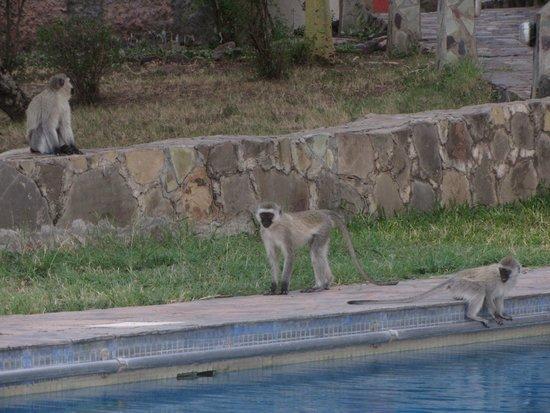 Serengeti Sopa Lodge: Familia de monos azules en la piscina del hotel.