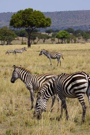 Kicheche Mara Camp: Thousands of zebras