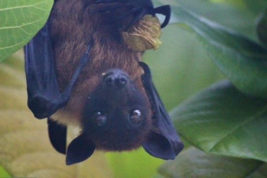 Diamonds Thudufushi : fruit bat outside our room