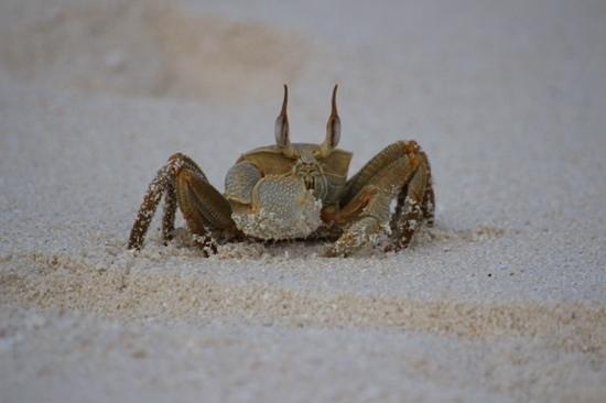 Diamonds Thudufushi : local crab