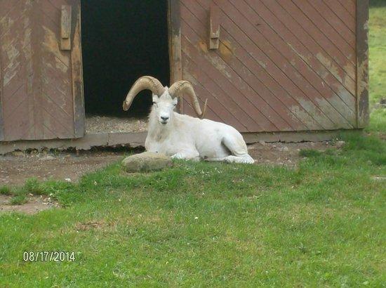 Shubenacadie Wildlife Park: dall sheep