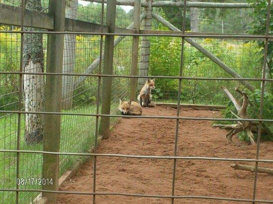 Shubenacadie Wildlife Park: red foxes