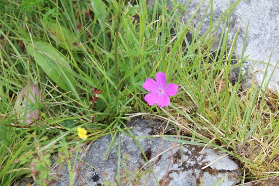 Heart of Burren Walks: Some of the beautiful flowers