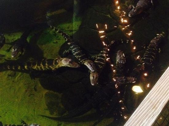 Congo River Golf: Gators