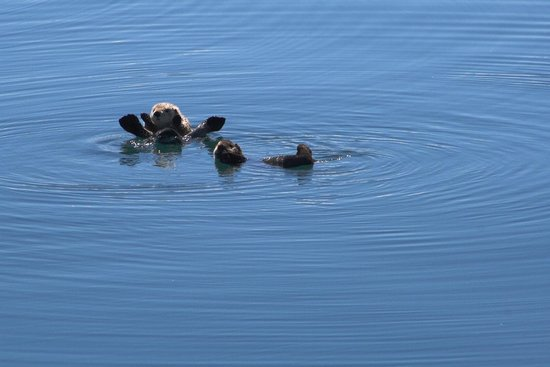 26 Glacier Cruise by Phillips Cruises and Tours: Friendly otters.