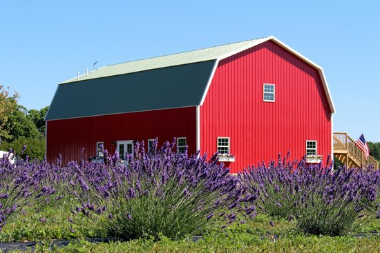 A not so little red barn full of lavender delights