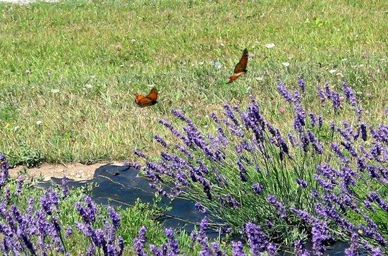 Fragrant Isle Lavender Farm & Shop: Two Monarchs fluttering by.