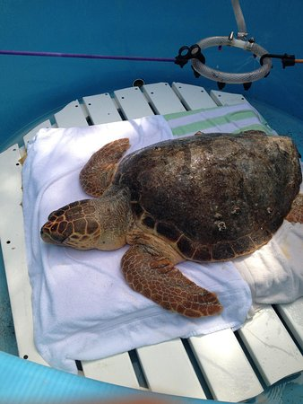The Turtle Hospital : A very sick turtle they got yesterday!