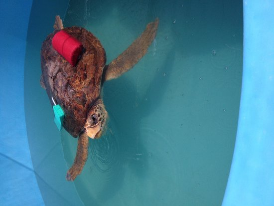 The Turtle Hospital : This turtle had gas.