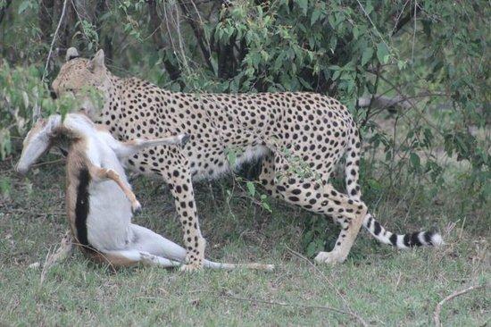 Gamewatchers Adventure Camp, Ol Kinyei: Cheetah Kill