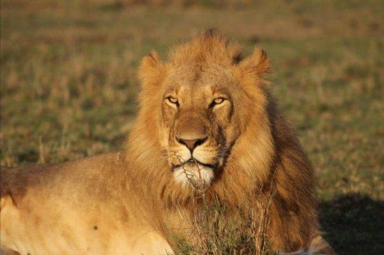 Gamewatchers Adventure Camp, Ol Kinyei: Lion at Sunrise