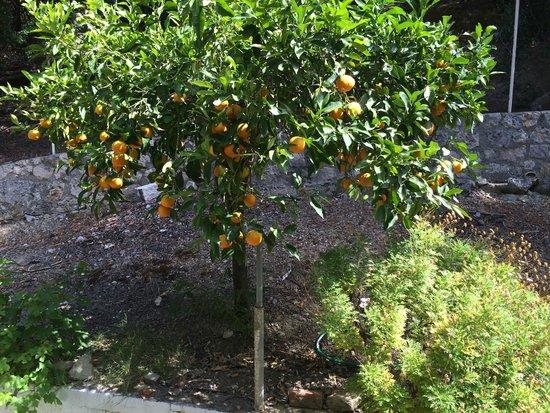 Mazis Apartments: апельсины у отеля