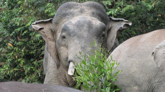 Myne Resort: Pygmy Elephants