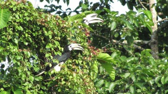 Myne Resort : Oriental Pied Hornbill