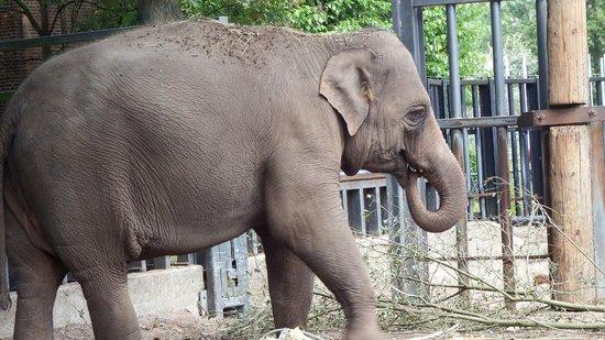 Artis Zoo : Elephant