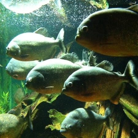 Lakes Aquarium: Piranhas