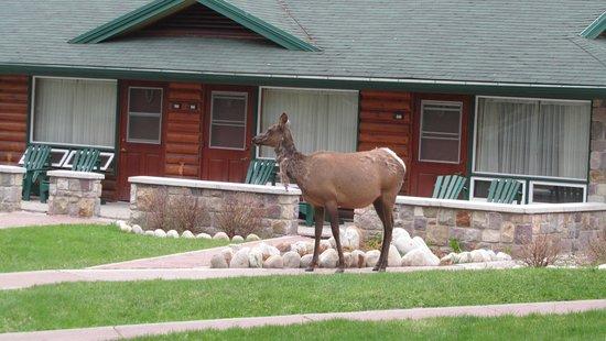 Fairmont Jasper Park Lodge : wild elk wander the grounds