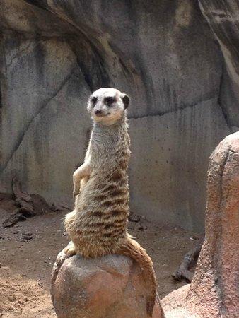 Cameron Park Zoo : Meerkat