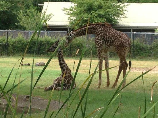 Cameron Park Zoo : Giraffes