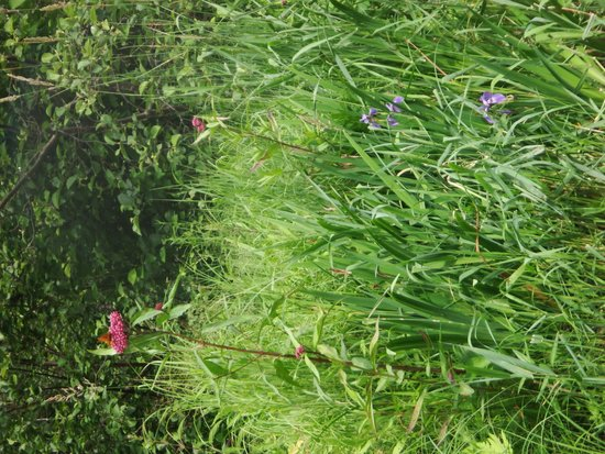 White Lake, WI: Wild Iris and Wildflowers galore along the banks