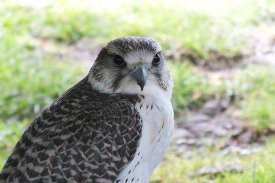 Appuldurcombe House: Bird of Prey